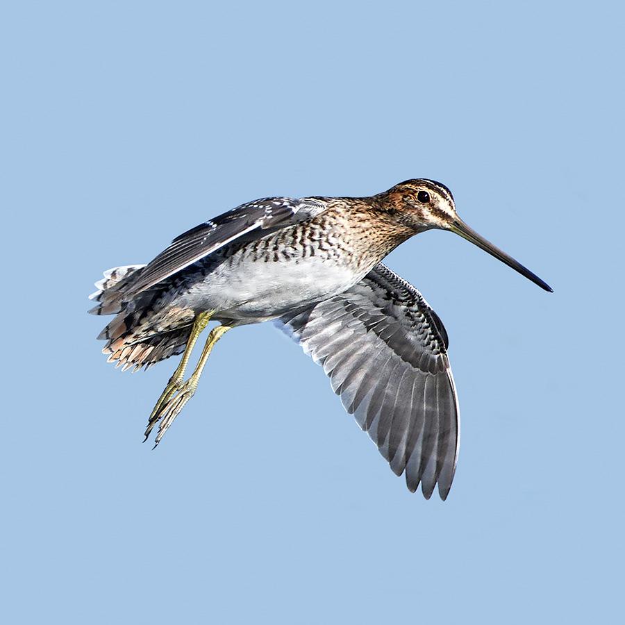 species of bird for wingshoot