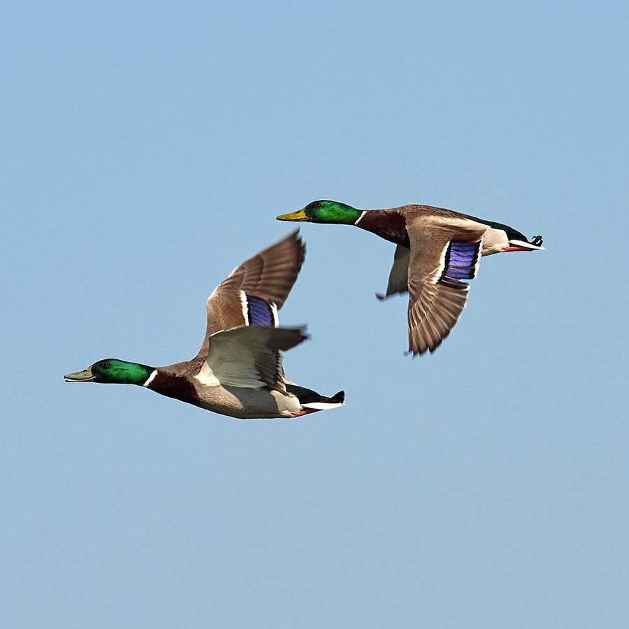Ducks flying for wingshoot